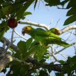 2 papagaaien eten vruchten uit een boom op Bonaire
