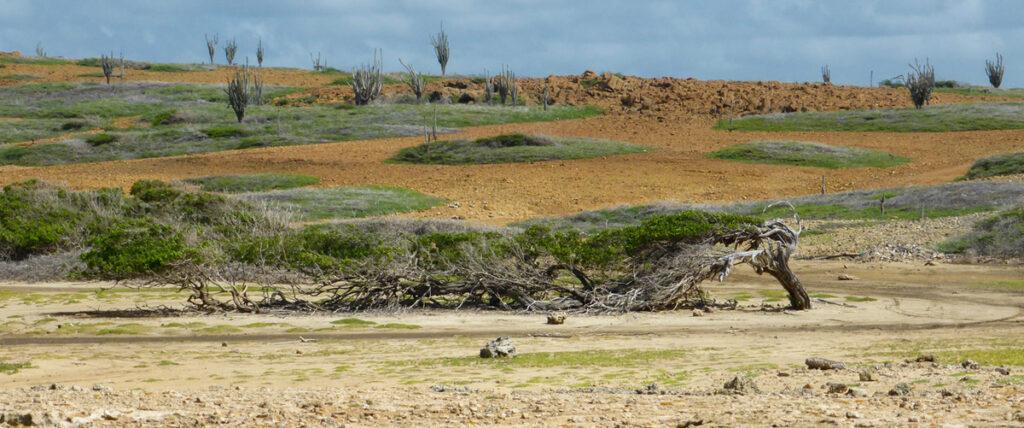 Langste boom van Bonaire langs route Bara di Karta