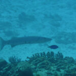 Barracuda op jacht rond Bonaire