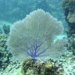 Bladkoraal Bonaire