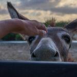 Een ezel komt bij de auto kijken op Bonaire