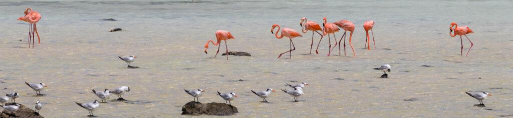 Planten en dieren Bonaire - Flamingo's