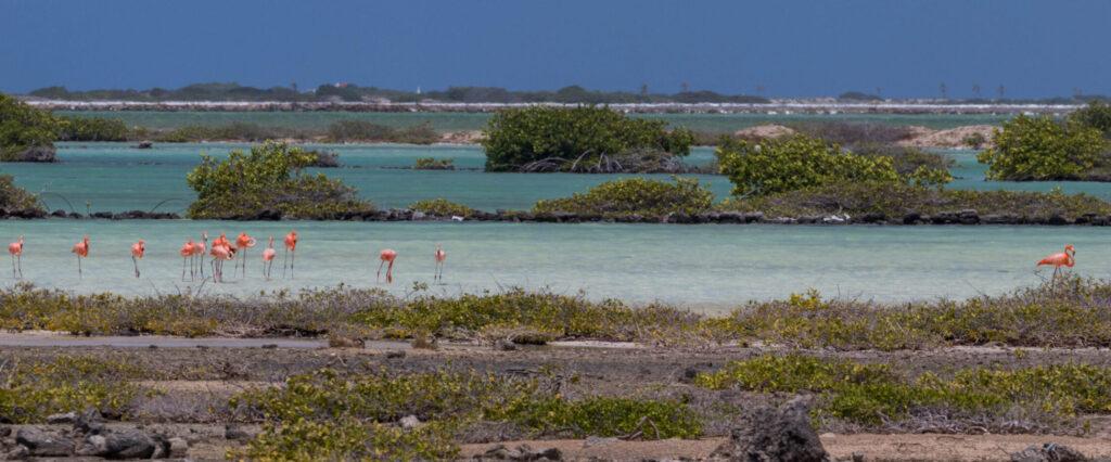 Flamingo's in de natuurlijke zoutmeren van Bonaire