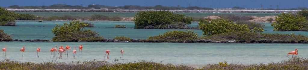 Flamingo's in de natuurlijke zoutmeren van Bonaire - smal