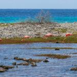 Flamingo's in zoutbekken op Bonaire