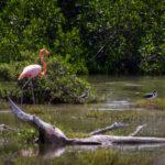 Flamingo in de mangrove van Bonaire