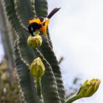 Geelbuikje in cactus op Bonaire