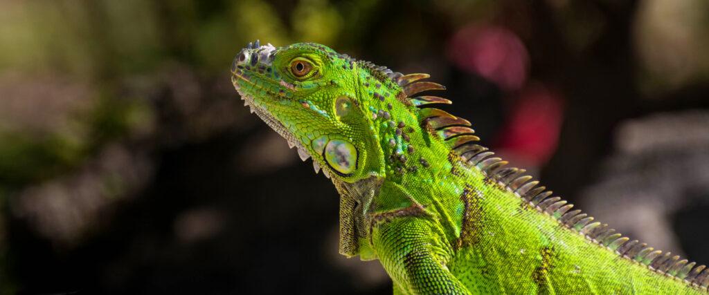 Groene Leguaan op Bonaire van dichtbij