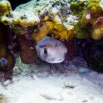 Kogelvis onder koraal Bonaire