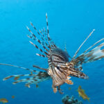 Koraalduivel van dichtbij op Bonaire