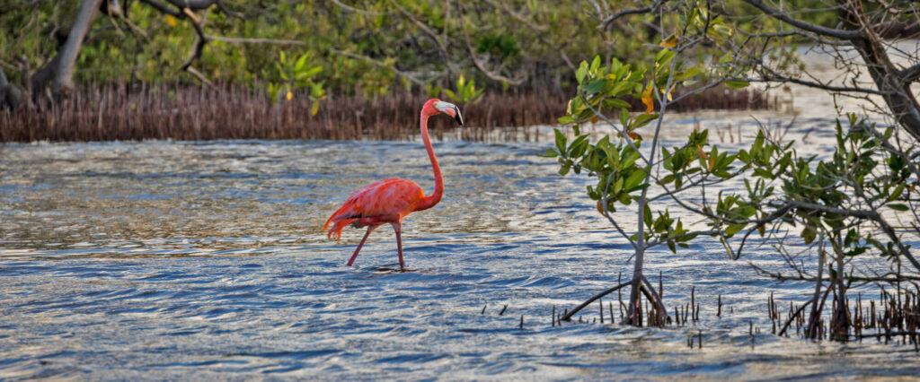 Een flamingo in de mangrove van Bonaire