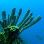 Pijpkoraal in het blauwe water van Bonaire