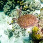 Een schildpad zwemt over een koraalrif van Bonaire