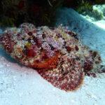 Stonefish van dichtbij op Bonaire