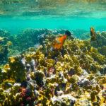 Vijlvissen tussen het koraal Bonaire