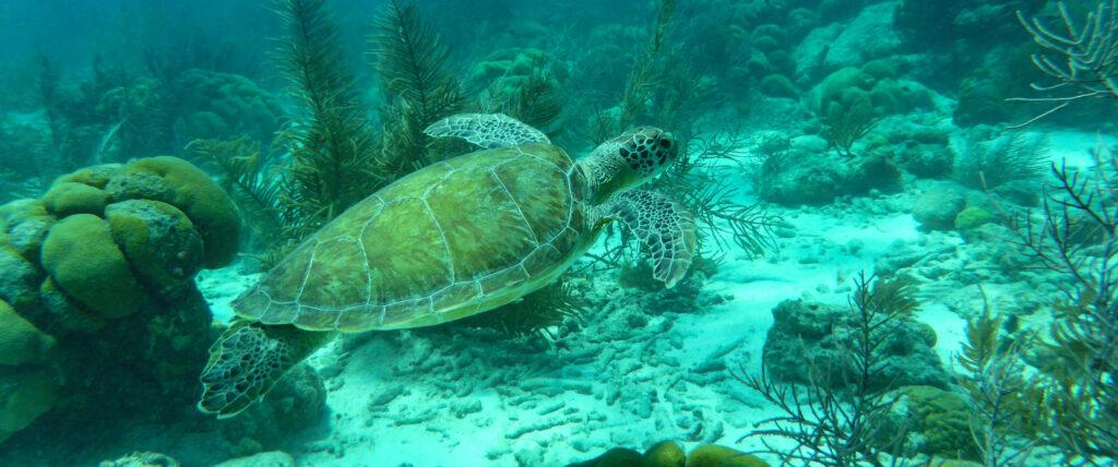 Schildpad zwemt in zee op Bonaire