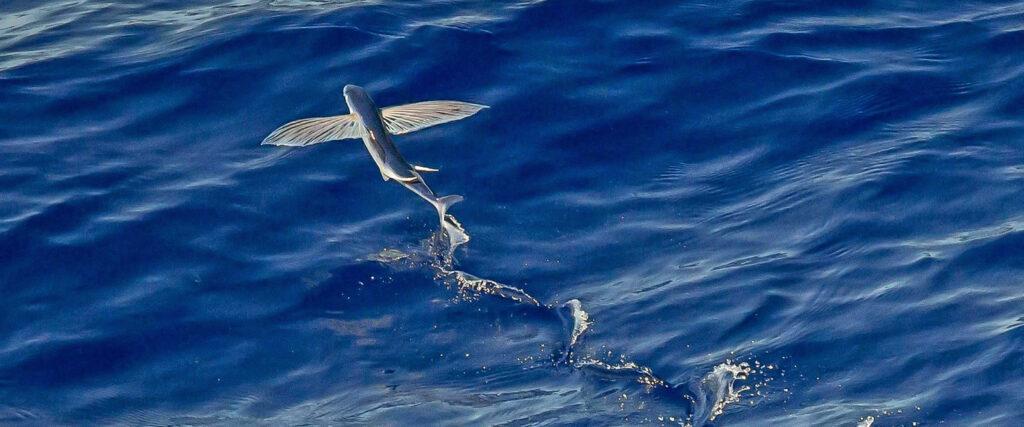 Vliegende vis rond Klein Bonaire