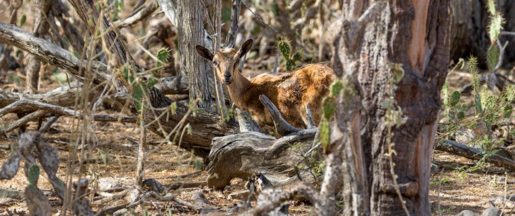 Wilde geiten WSNP Bonaire
